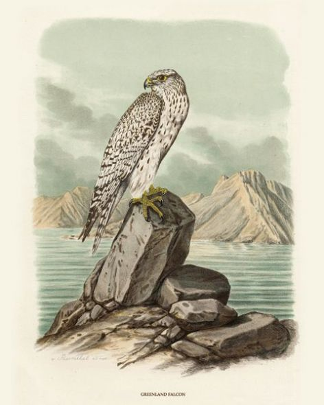 Fine Art Print of the Greenland Falcon by O V Riesenthal (1876)
